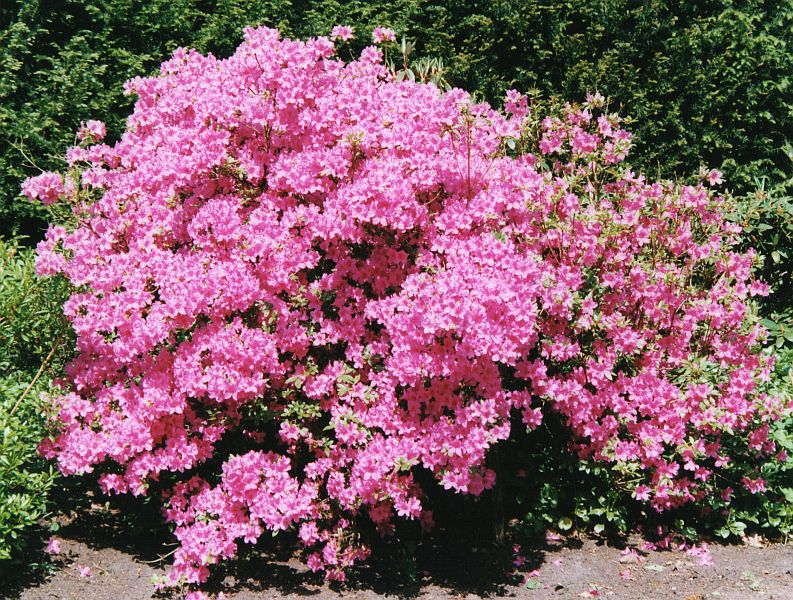 Rhododendron hecke