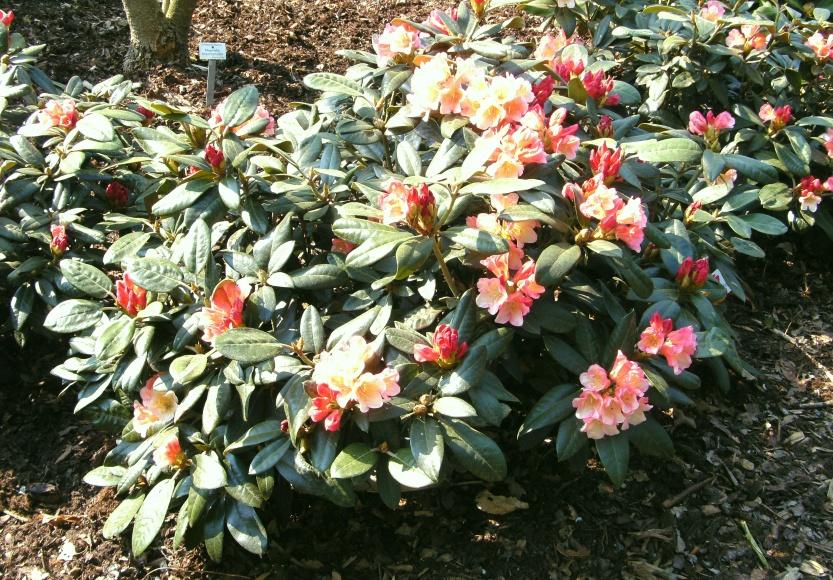 rhododendron 39 aureolin 39. Black Bedroom Furniture Sets. Home Design Ideas