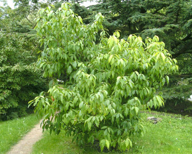 how to plant shrub